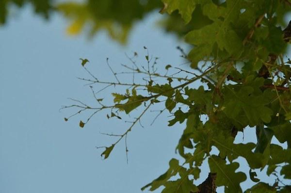 Defolation d'un chêne